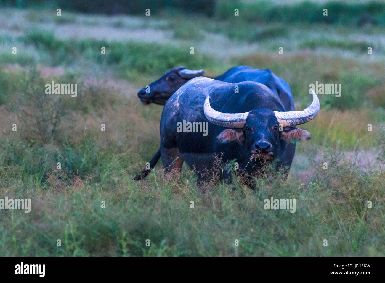 Water Buffalos in Kakadu National Park, Northern Territory, Australia. - Stock Image