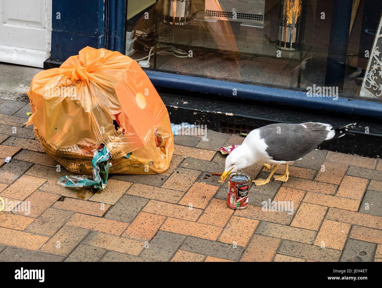 Lesser Black-backed Gull Scavenging a Refuse Sack left on Street of Ipswich Suffolk UK - Stock Image
