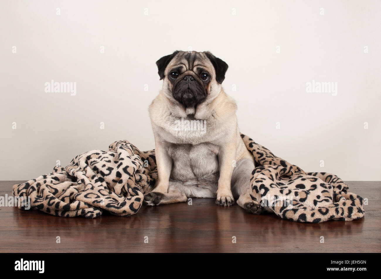 cute pug puppy dog sitting down on wooden floor with fuzzy leopard print blanket Stock Photo