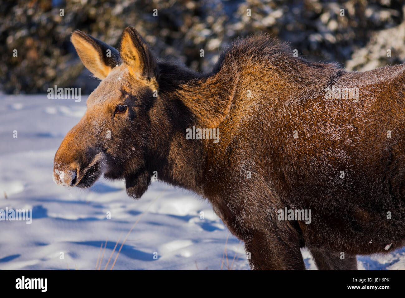 Close-up of a female moose (alces alces)with frost on her fur from foraging in the snow on a -30 F (-34 C) degree - Stock Image
