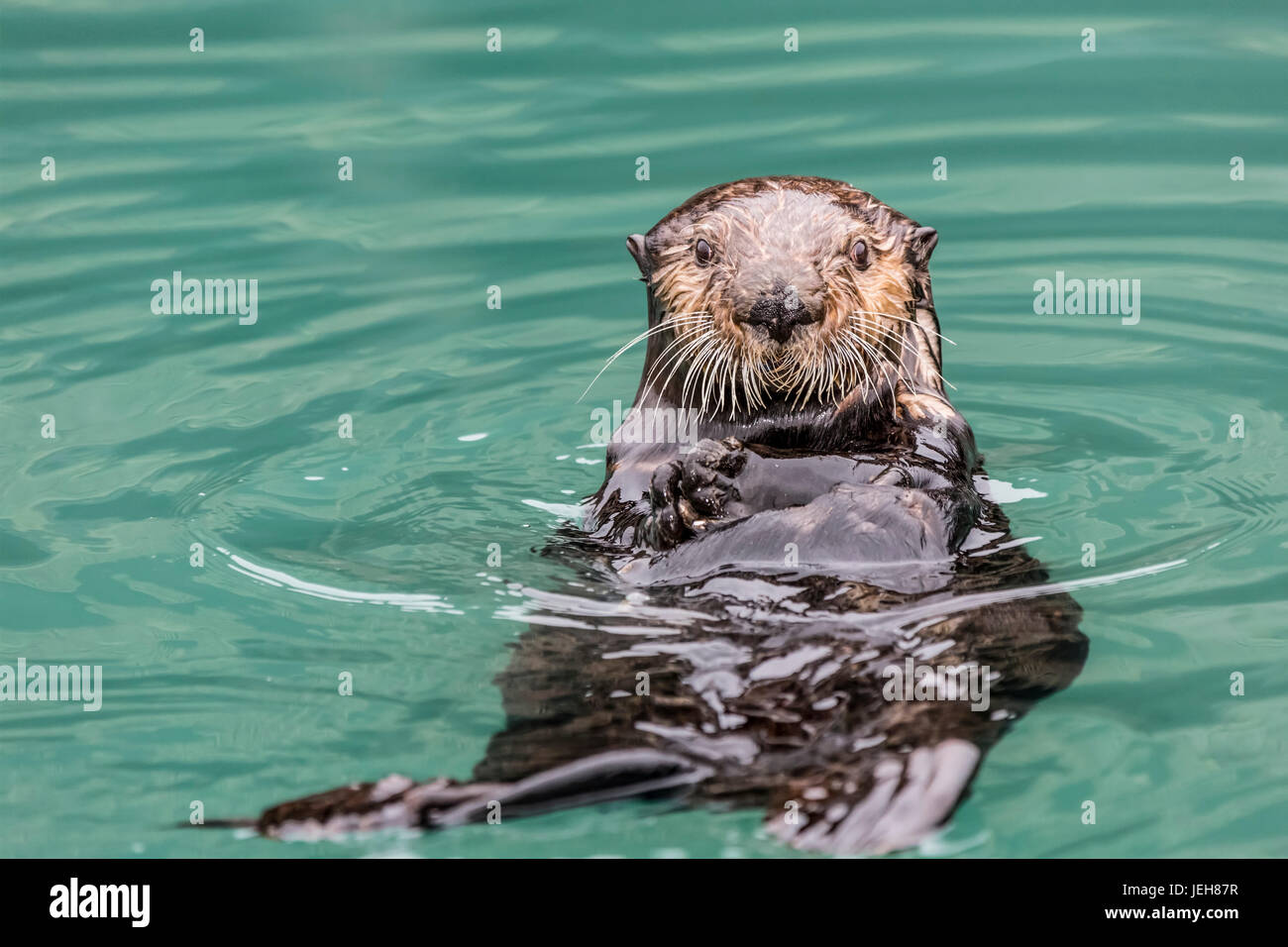 Close-up of a Sea Otter (Enhydra lutris) floating on it's back, looking towards the camera, South-central Alaska Stock Photo