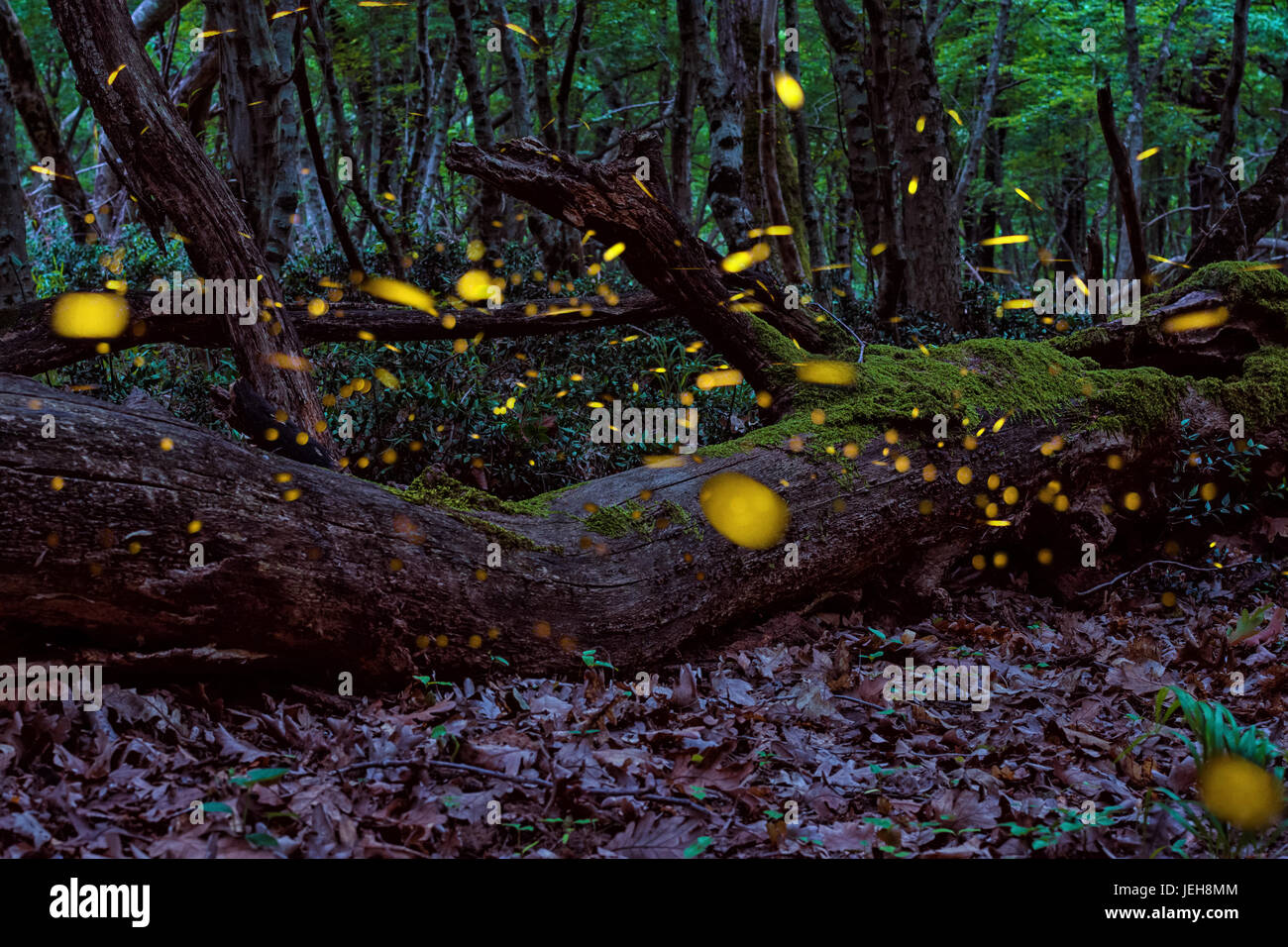Magical Fireflies in the summer at the enchanted fairy forest - Stock Image