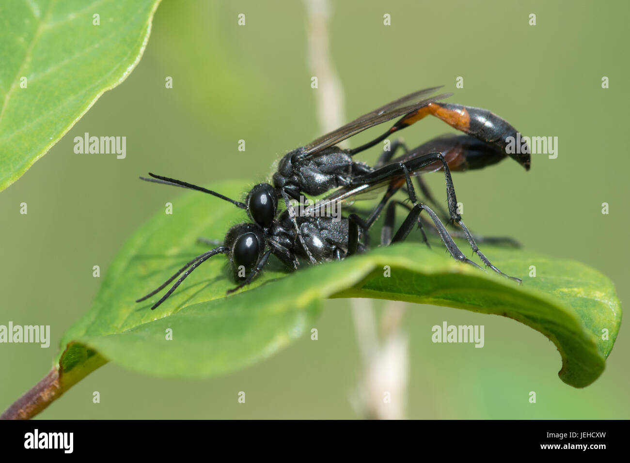 Close-up of mating sand wasps (Ammophila pubescens) Stock Photo