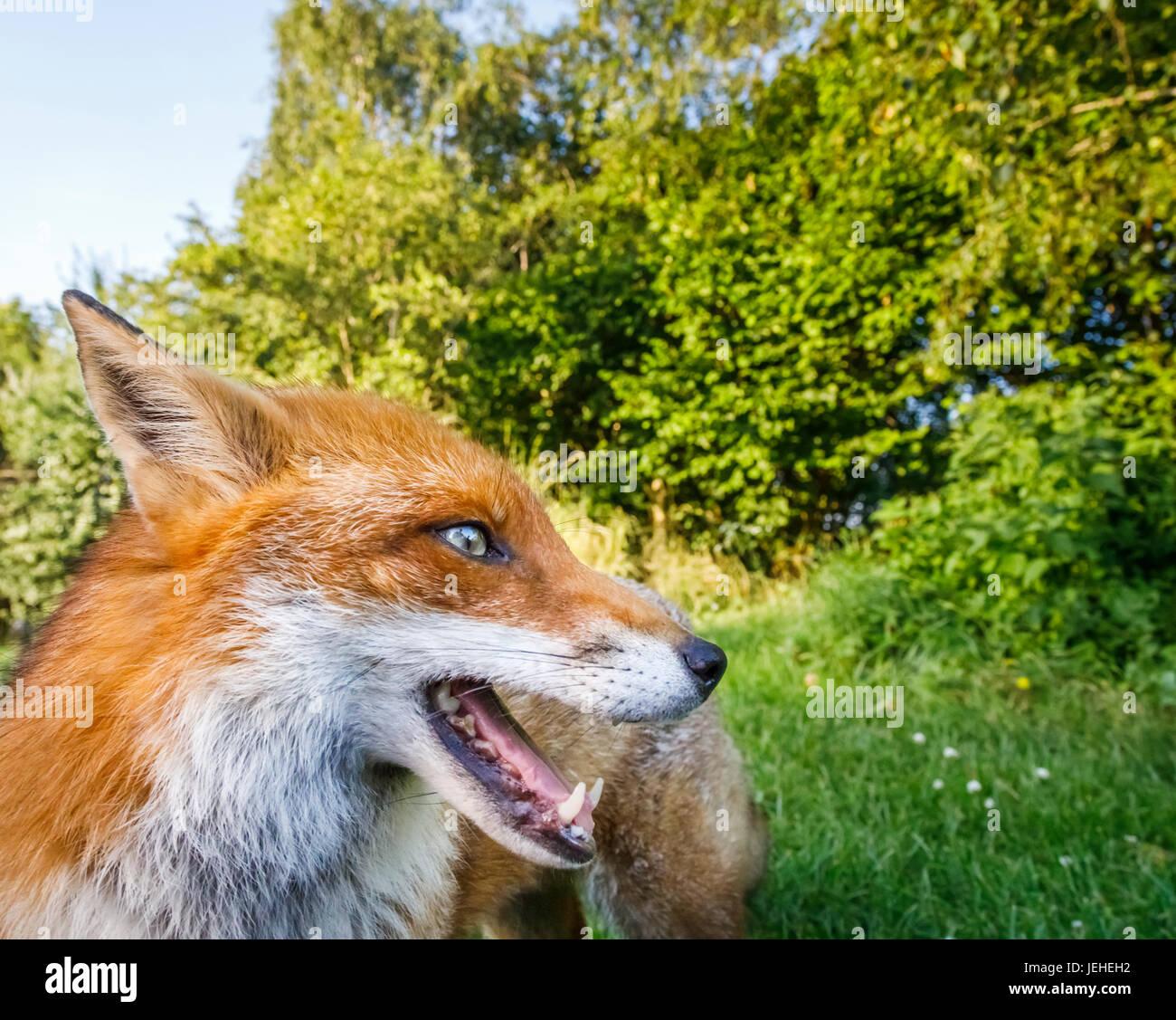 British wildlife: Fox (Vulpes vulpes), British Wildlife Centre, Newchapel, Lingfield, Surrey, UK - Stock Image