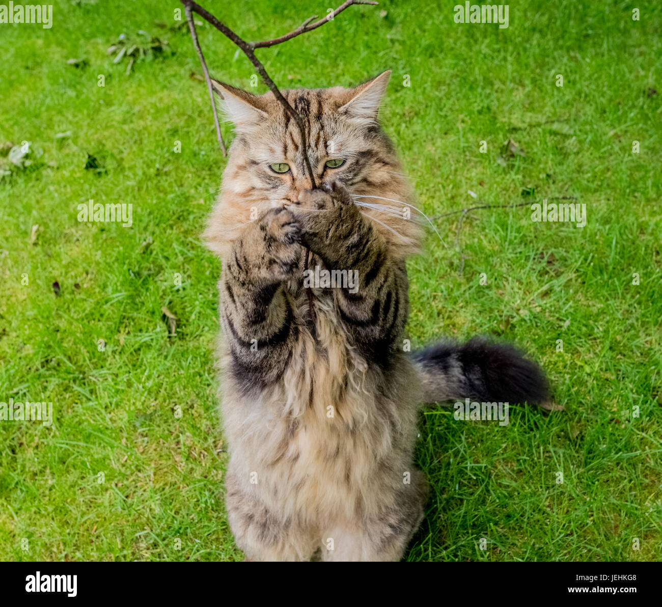 Long Haired Tabby Cat Standing Up On Two Legs Holding On To A Tree Branch. - Stock Image