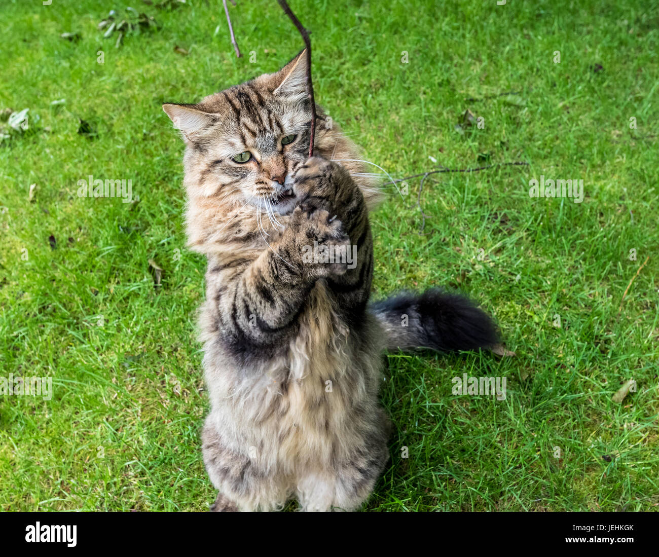 Tabby Cat On A Grass Lawn Standing Up On Two Legs Holding A Tree Branch In Their Paws - Stock Image