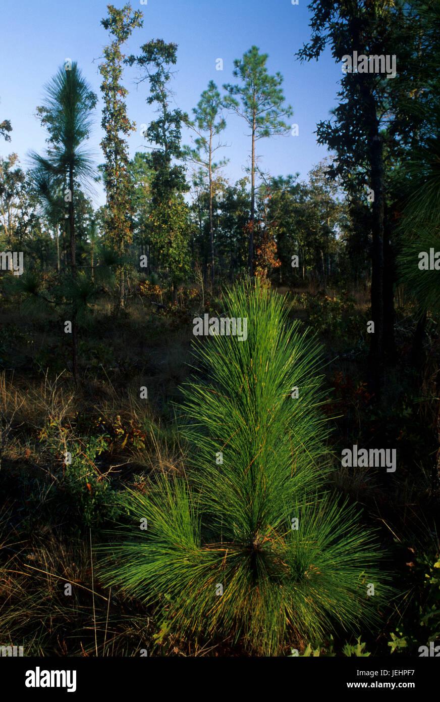 Pine seedling, Apalachicola Bluffs and Ravines Preserve, Florida - Stock Image