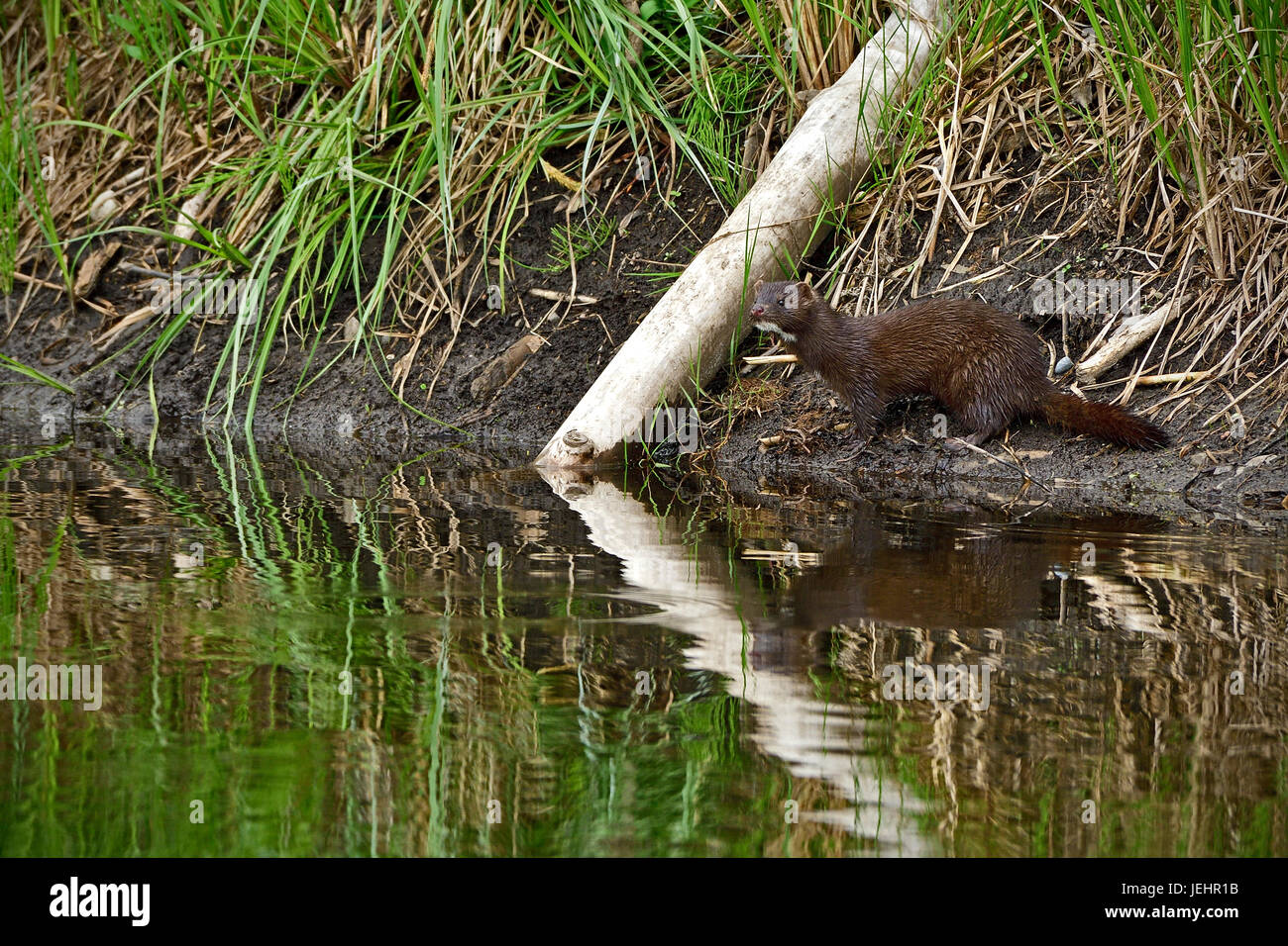 A wild mink (Mustela vison) pausing for a second along a river bank in rural Alberta Canada. - Stock Image