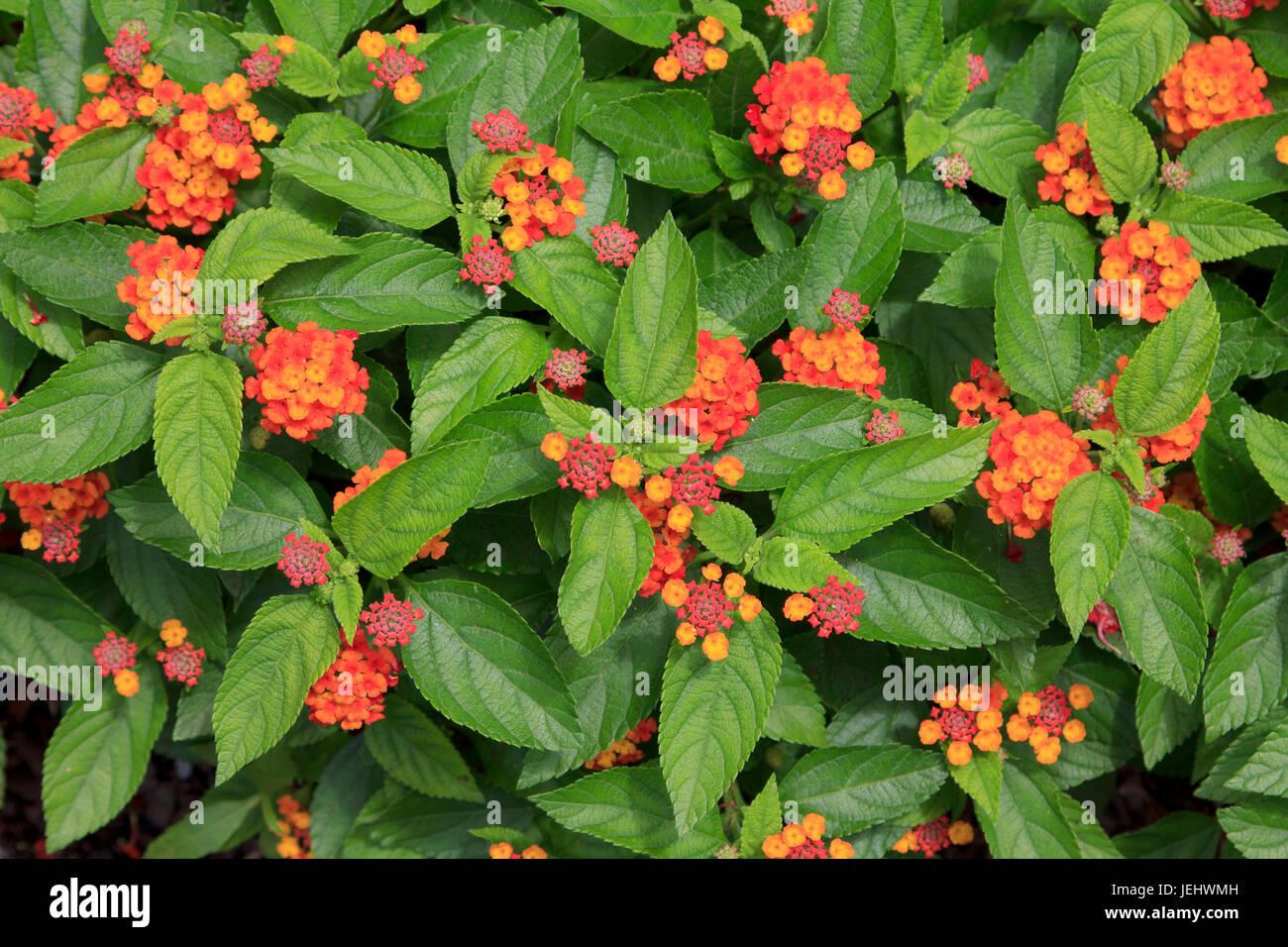 Red Lantana camara - Stock Image