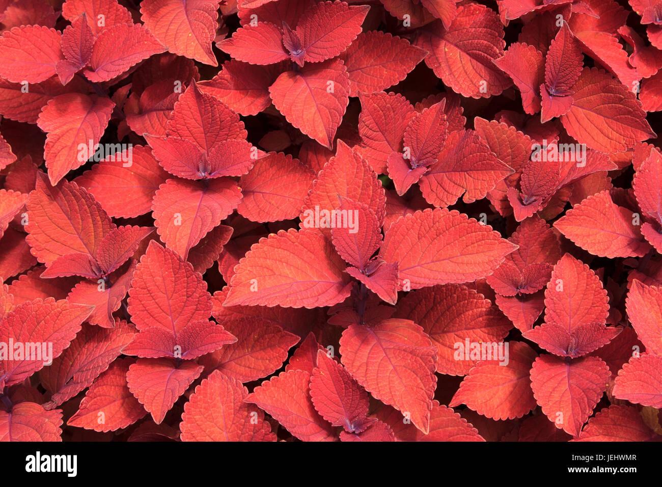 Solenostemon scutellarioides campfire coleus botanical gardens Stock Photo