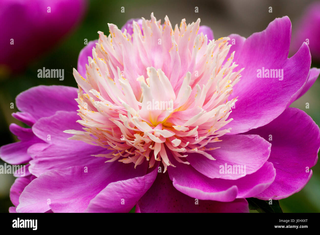'Bowl of beauty' Peony (Paeonia lactiflora). Sedgwick Gardens on Long Hill estate, in Beverly, MA. - Stock Image
