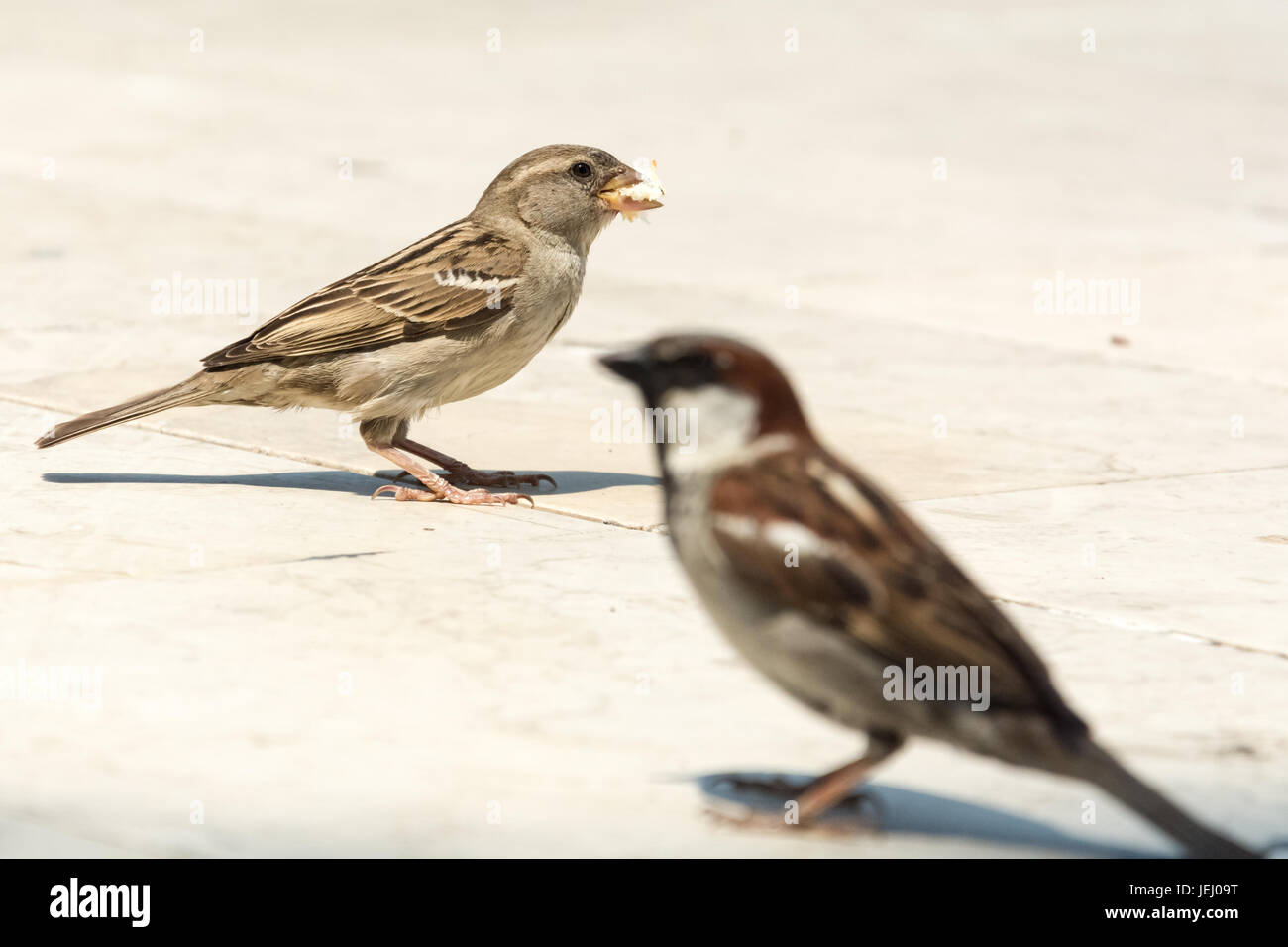 Couple of sparrows waiting for more bread as the female already has a piece in the beak - Stock Image