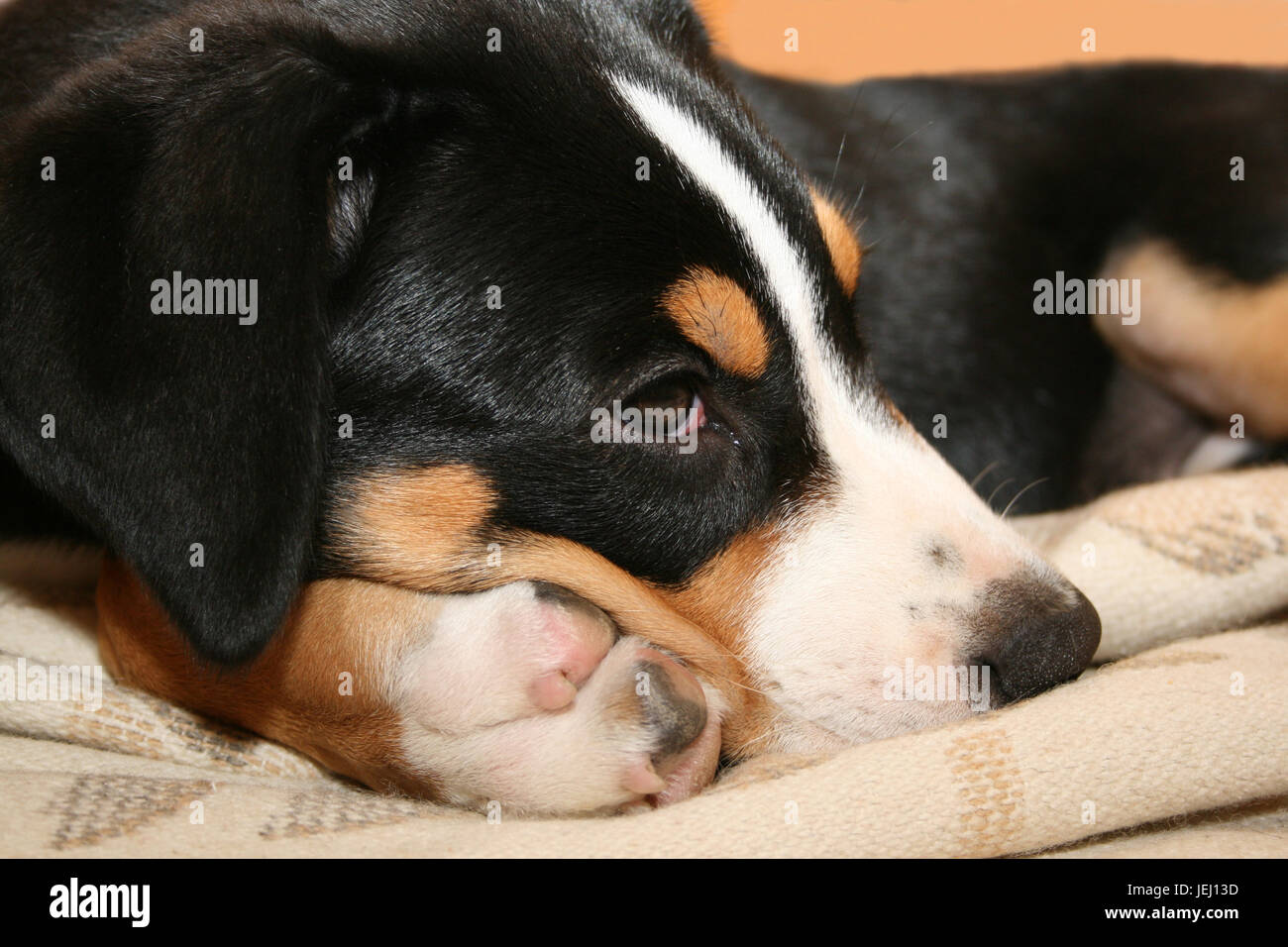 Schweizer Sennenhund Stock Photo