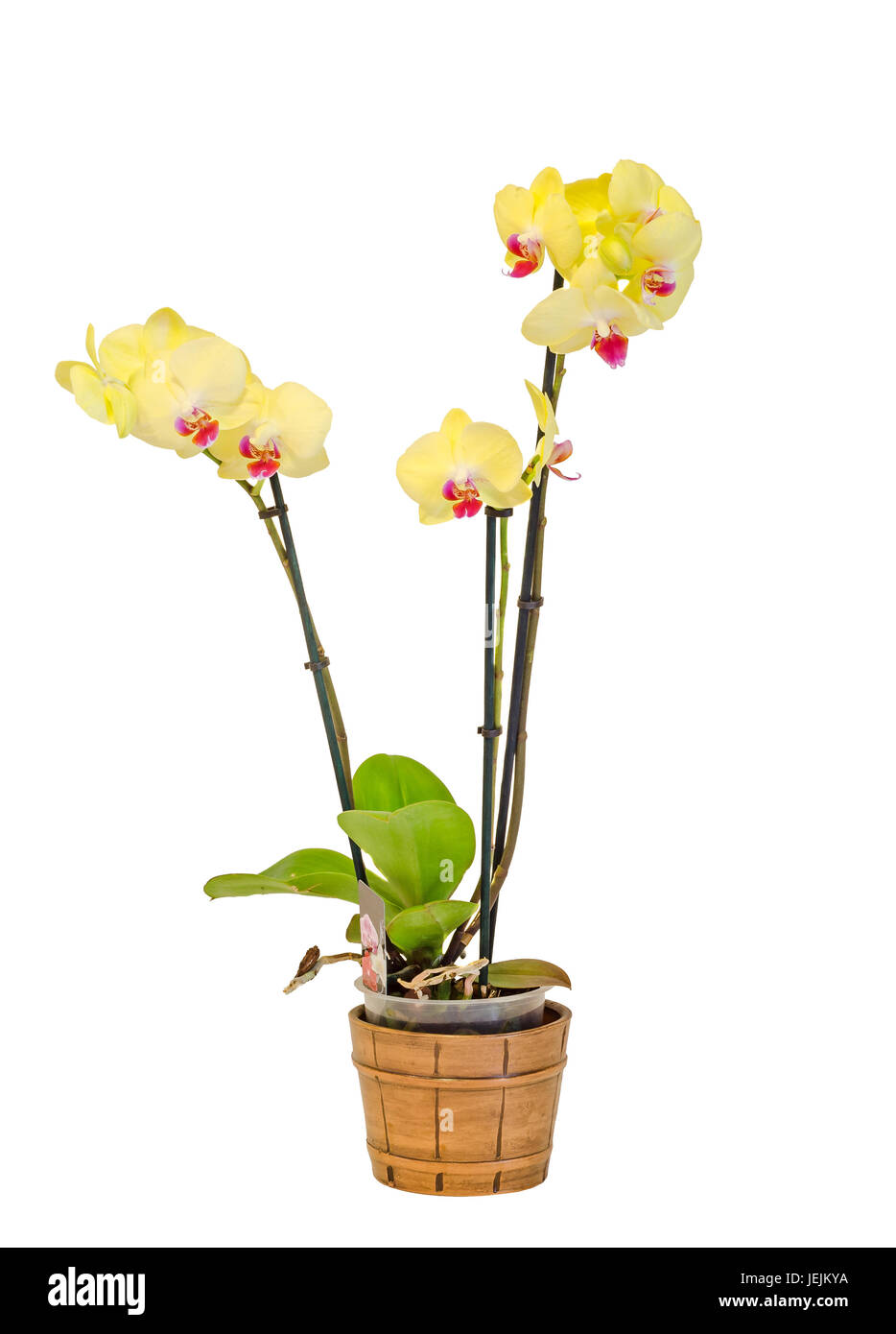 Yellow Branch Orchid Flowers With Green Leaves White Vase Stock