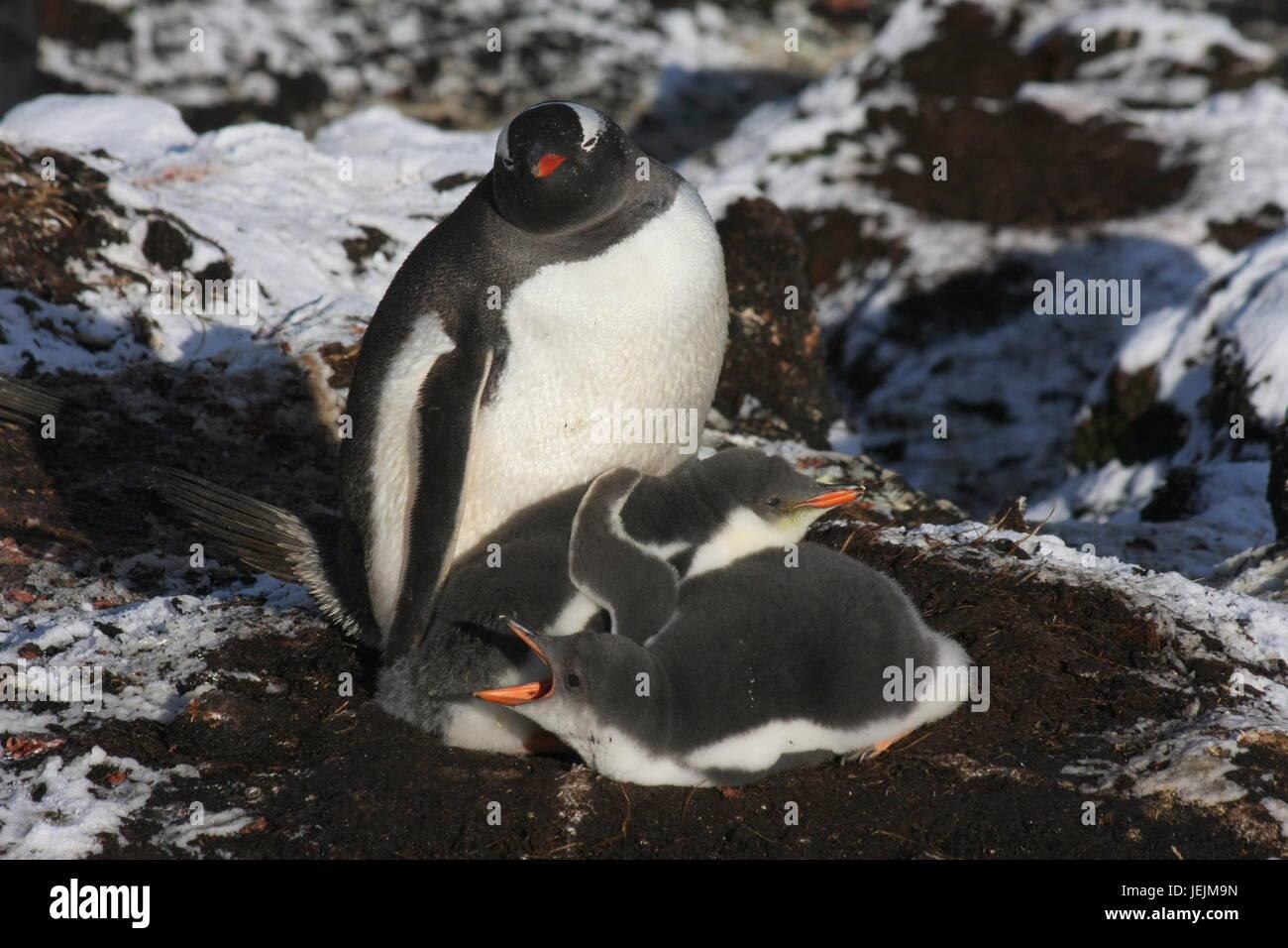 Gentoo penguin families - Stock Image