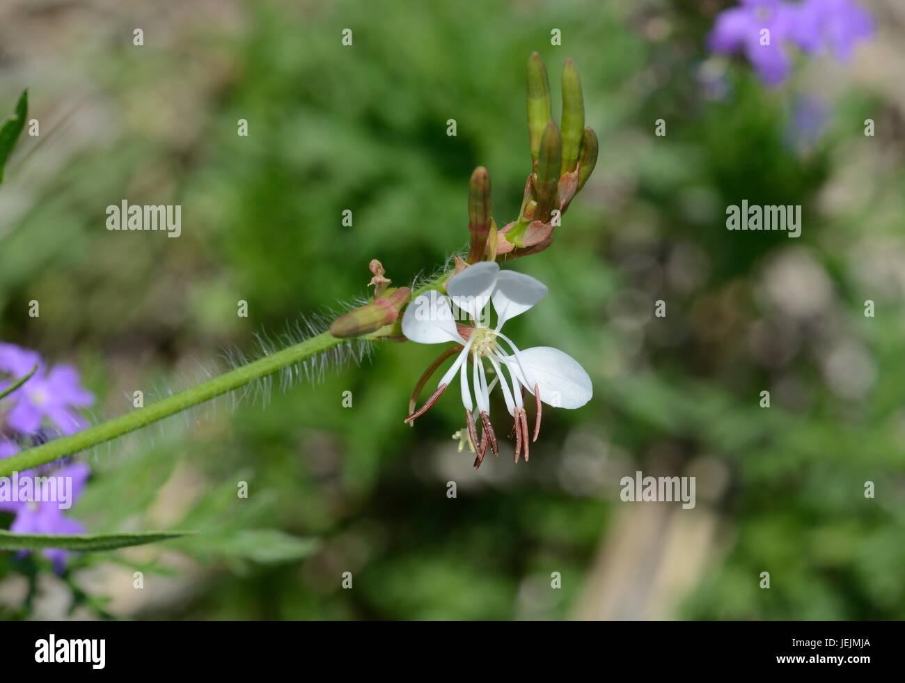 Lindheimer's Beeblossom - Stock Image