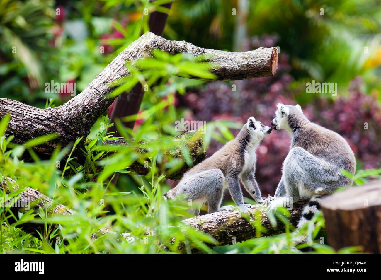 Ring-tailed lemur (Lemur catta) in captivity - Stock Image