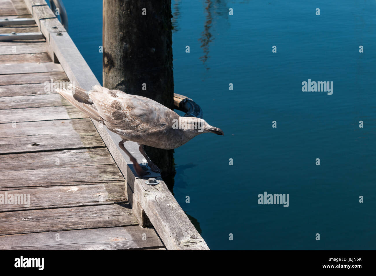 Juvenile Glaucous-winged gull (Larus glaucescens) perching on edge of dock - Stock Image