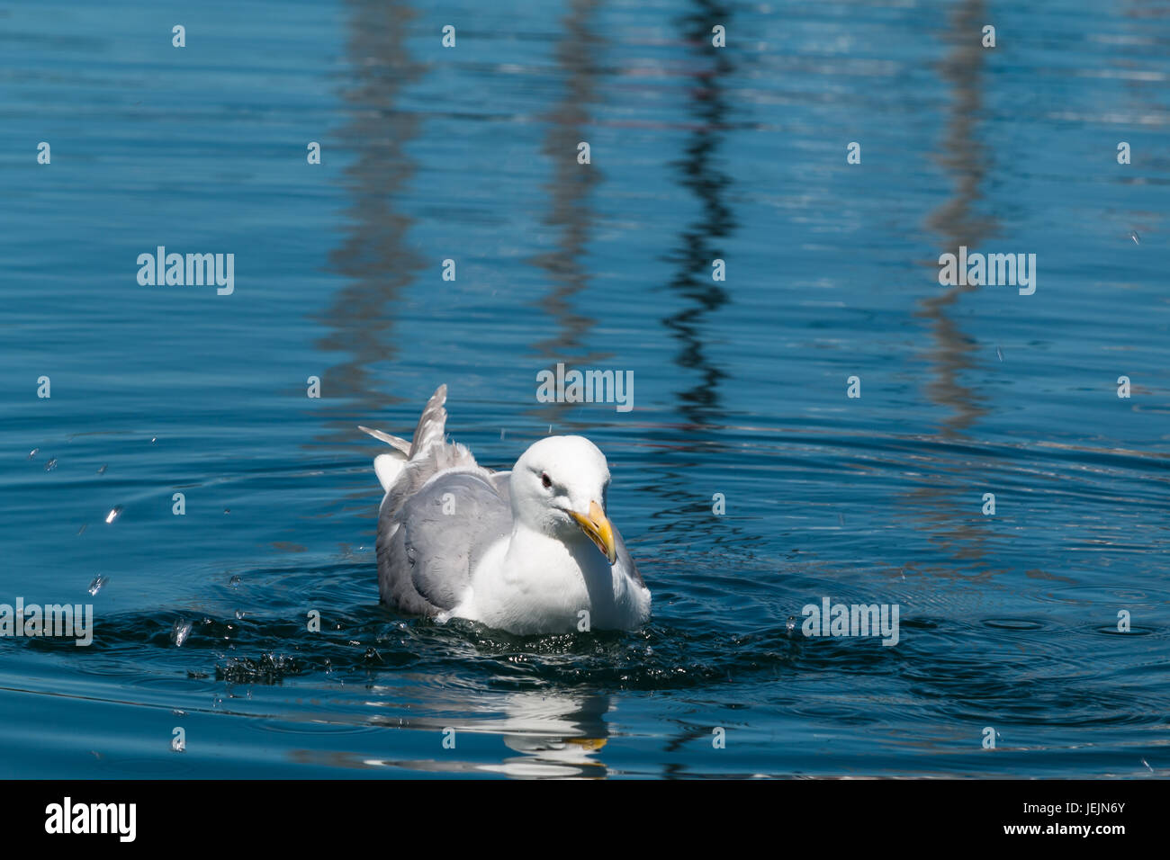 Adult Glaucous-winged gull (Larus glaucescens) swimming and splashing in ocean - Stock Image
