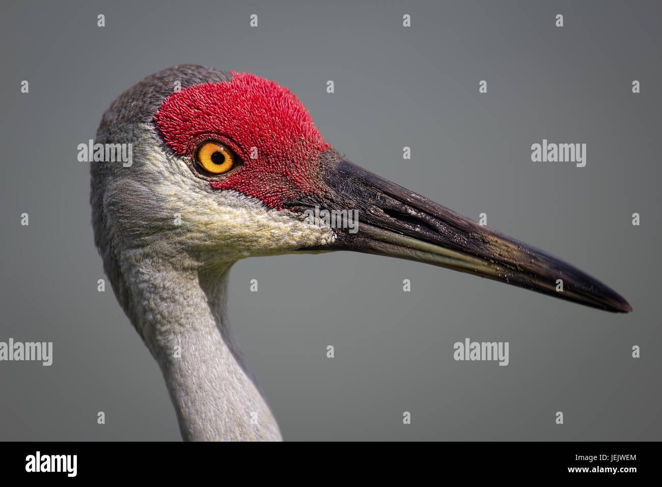 Bird, Sanhill Crane, Day, Florida, USA - Stock Image