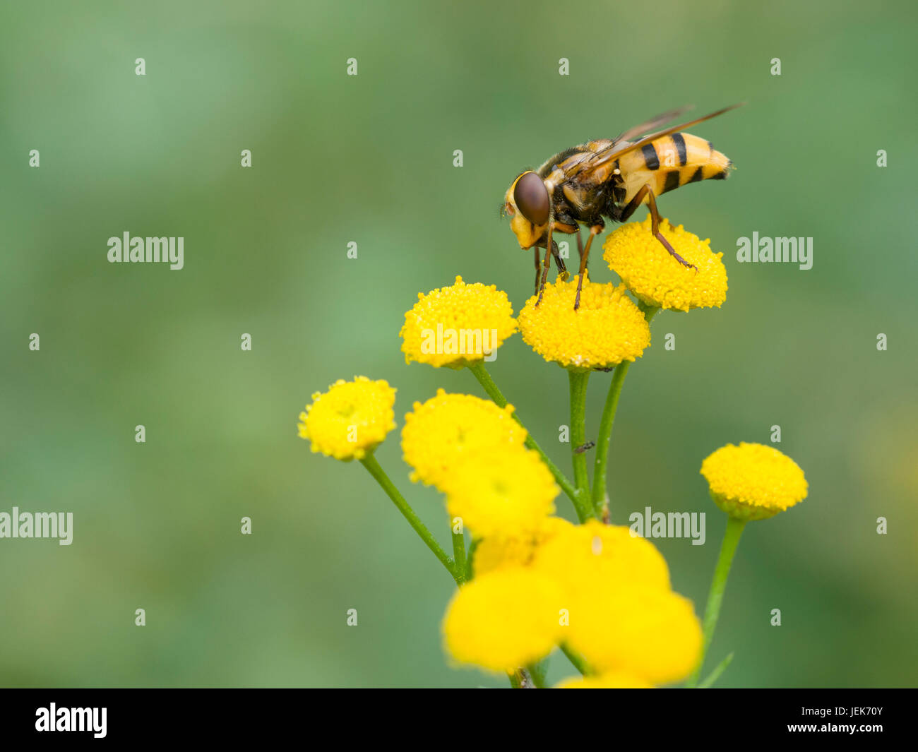 hoverfly (Volucella inanis) - Stock Image