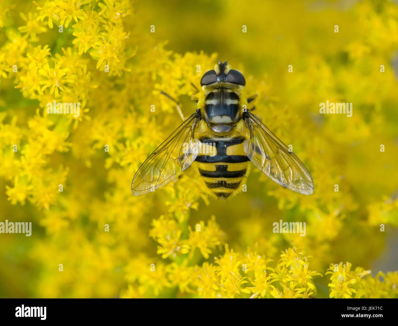 hoverfly (Myathropa florea) - Stock Image