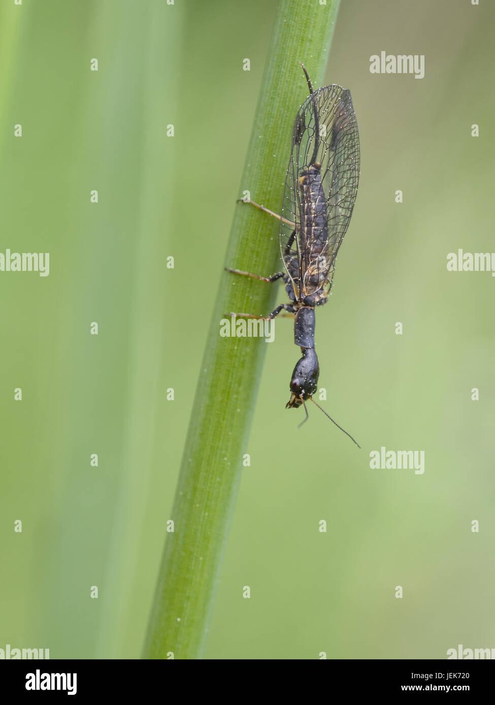 Snakefly  (Phaeostigma notata) - Stock Image