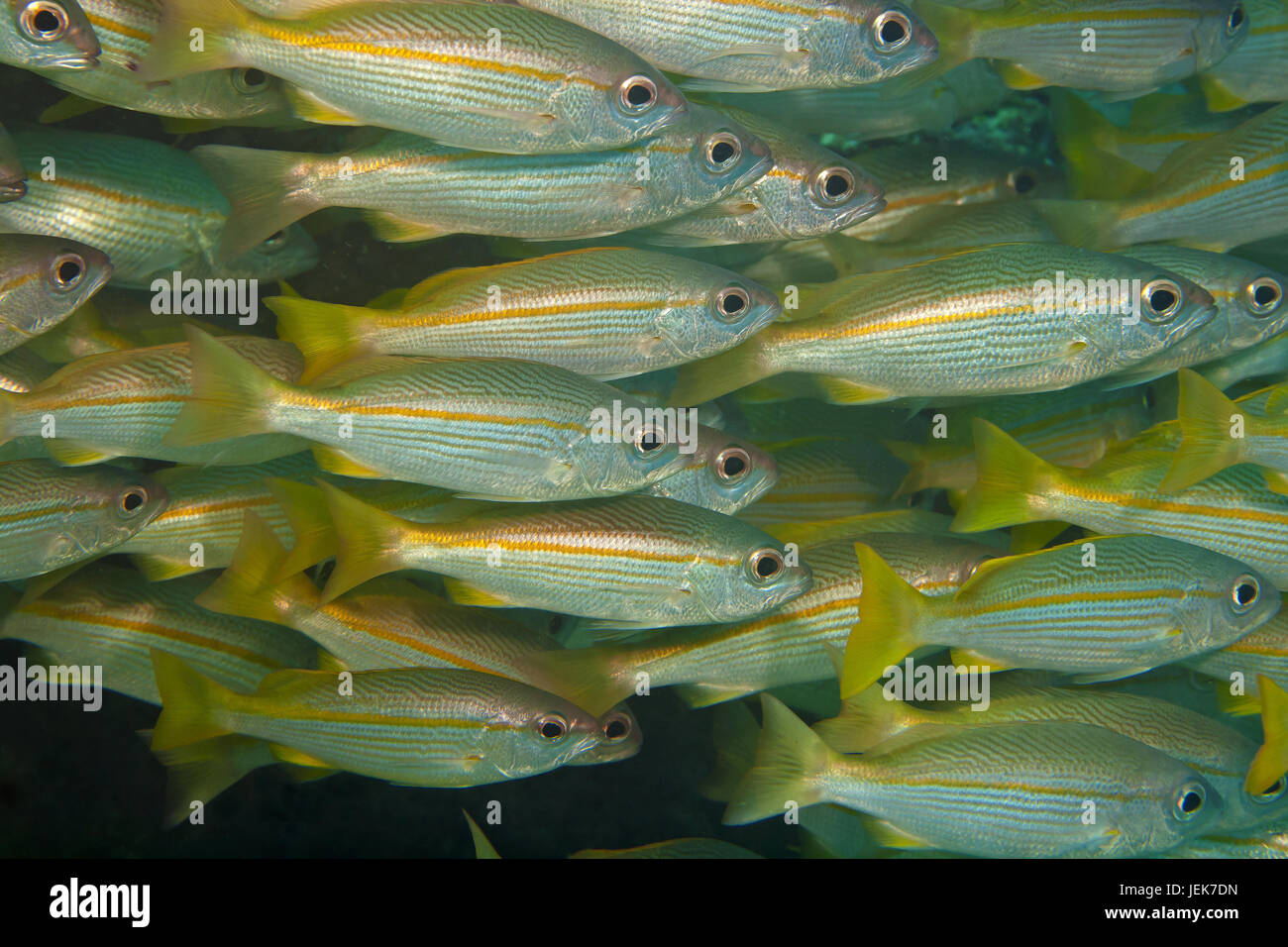 In the midst of thousands of fish - Stock Image