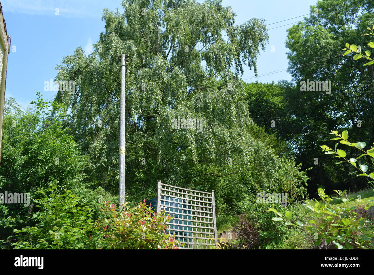 large silver birch tree overhanging power electricity telephone lines and wires with wooden timber post in garden - Stock Image