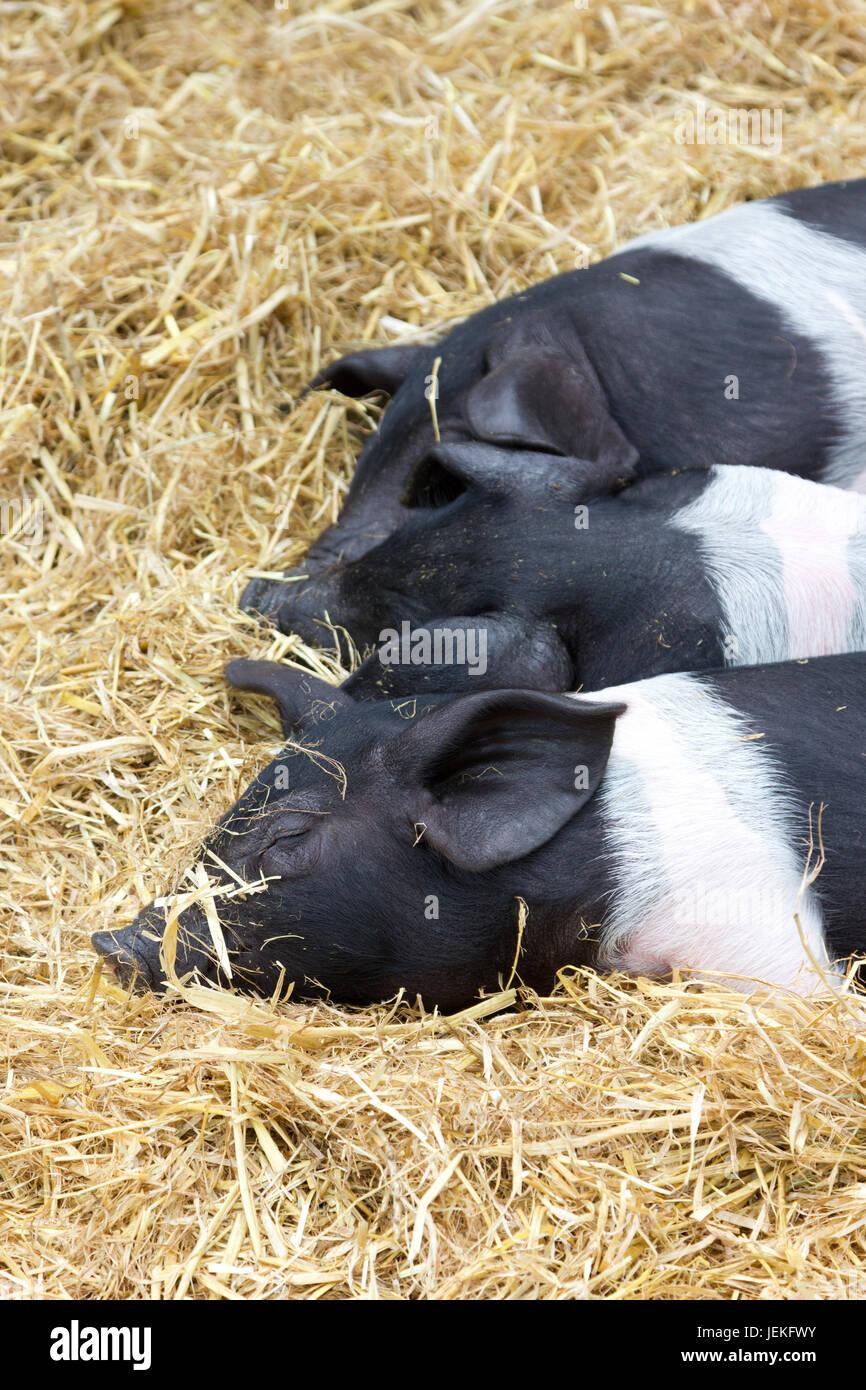Three young British Saddleback pigs - Stock Image