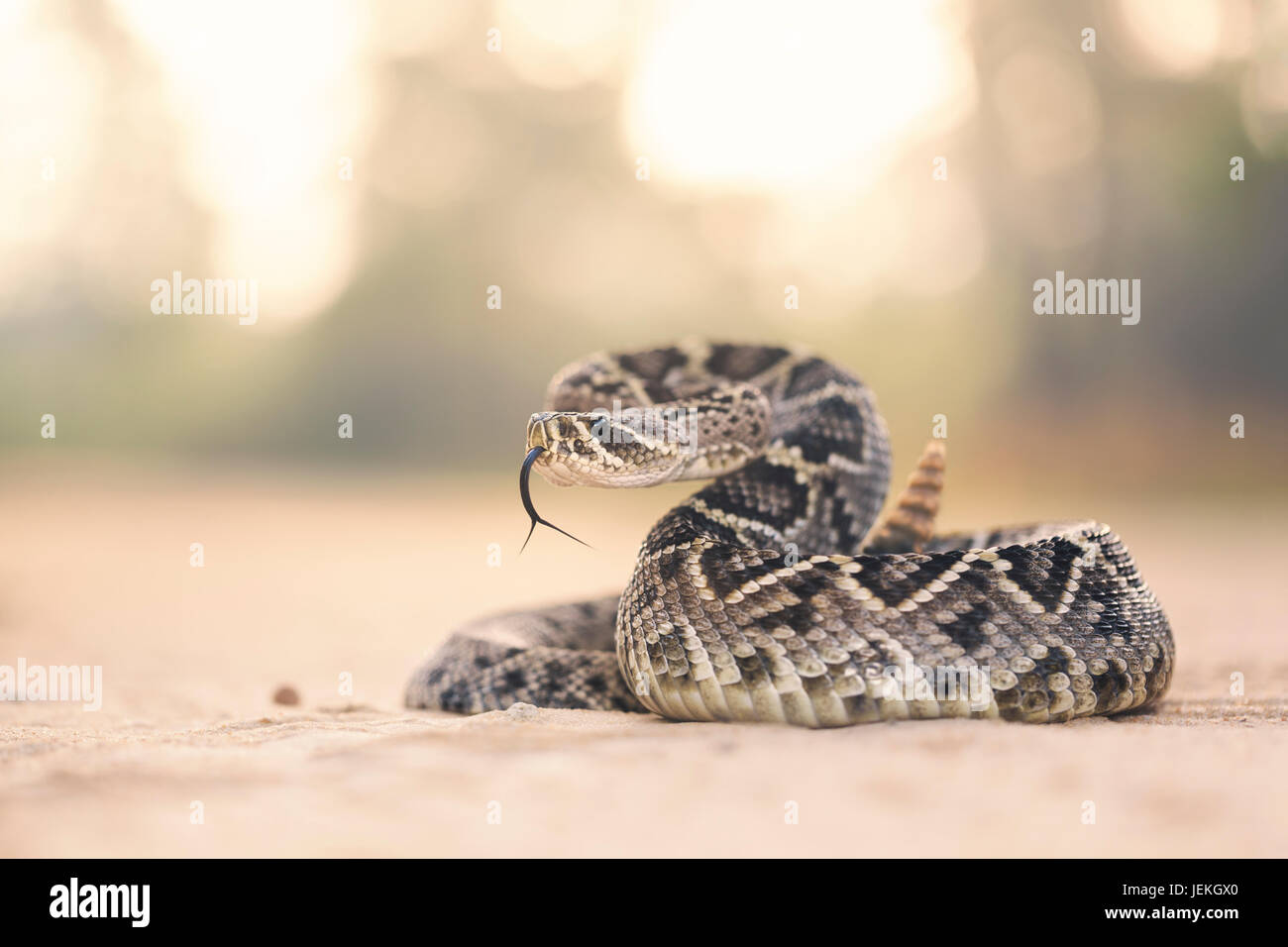 Eastern Diamondback Rattlesnake (Crotalus adamanteus), Florida, United States Stock Photo