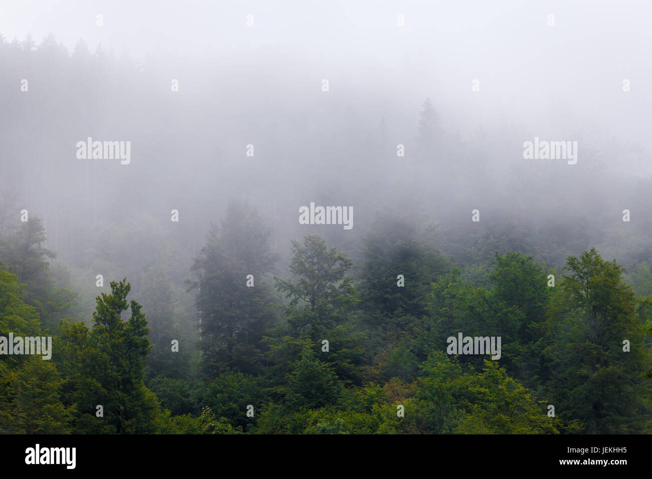 Fairytale weather in the misty green evergreen forrest - Stock Image