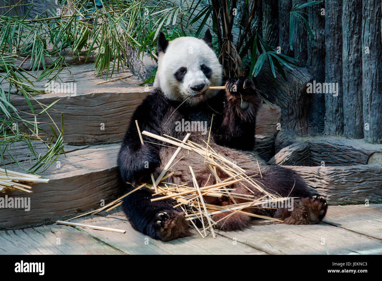 Panda enjoy eating bamboo sticks Stock Photo