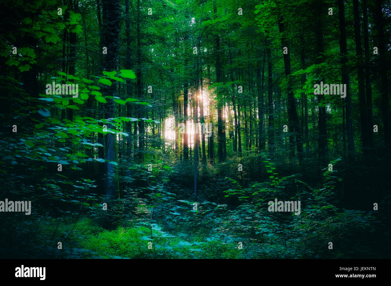 Light shining through the trees in the woods - Stock Image