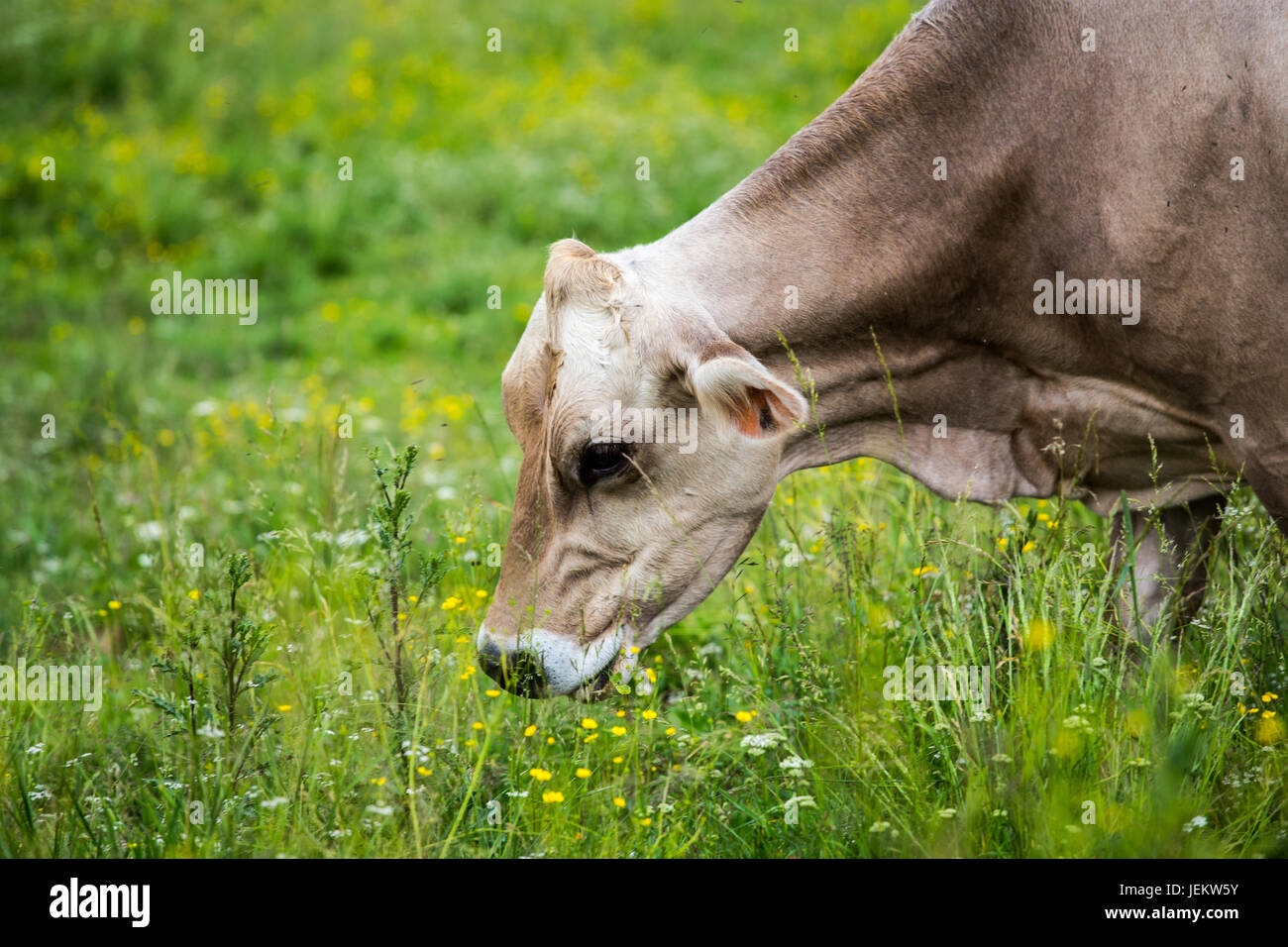Cow (Swiss Braunvieh breed) grazing on a green meadow. Cow's face. - Stock Image