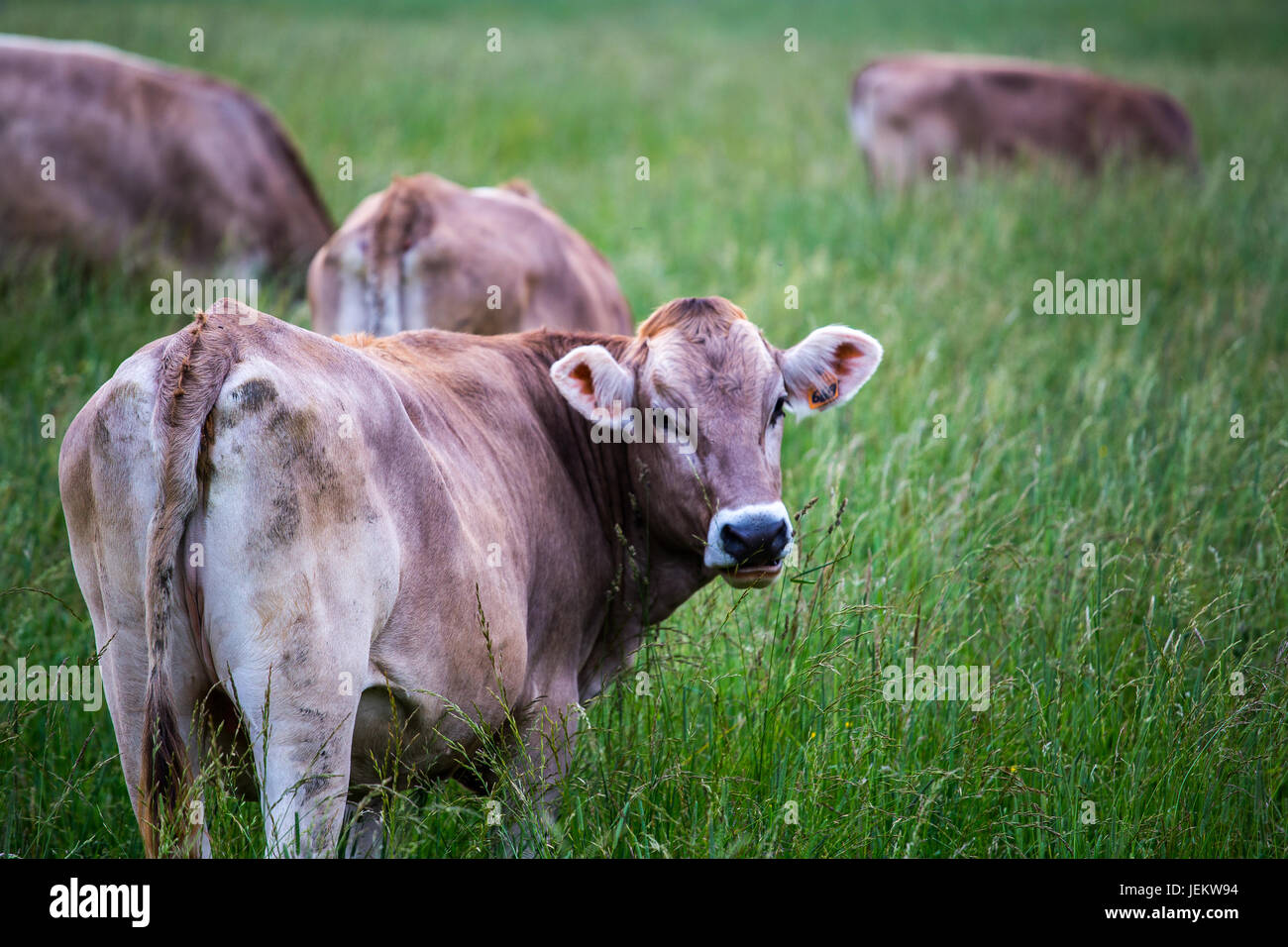 Cow (Swiss Braunvieh breed) standing on a green meadow with other cows grazing in the background. - Stock Image