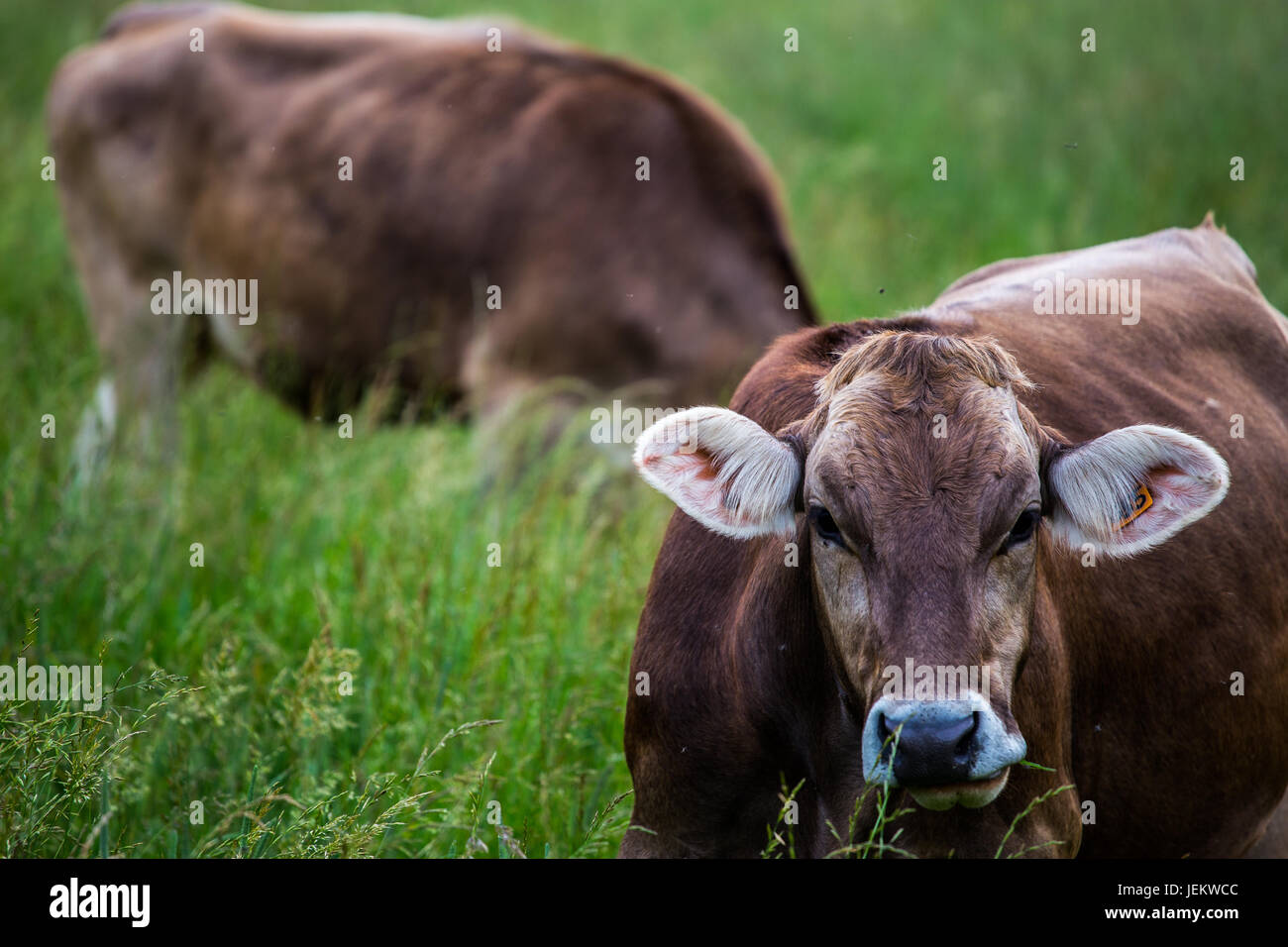 Cow's face (Swiss Braunvieh breed) with other cow grazing on a green meadow in the background. - Stock Image