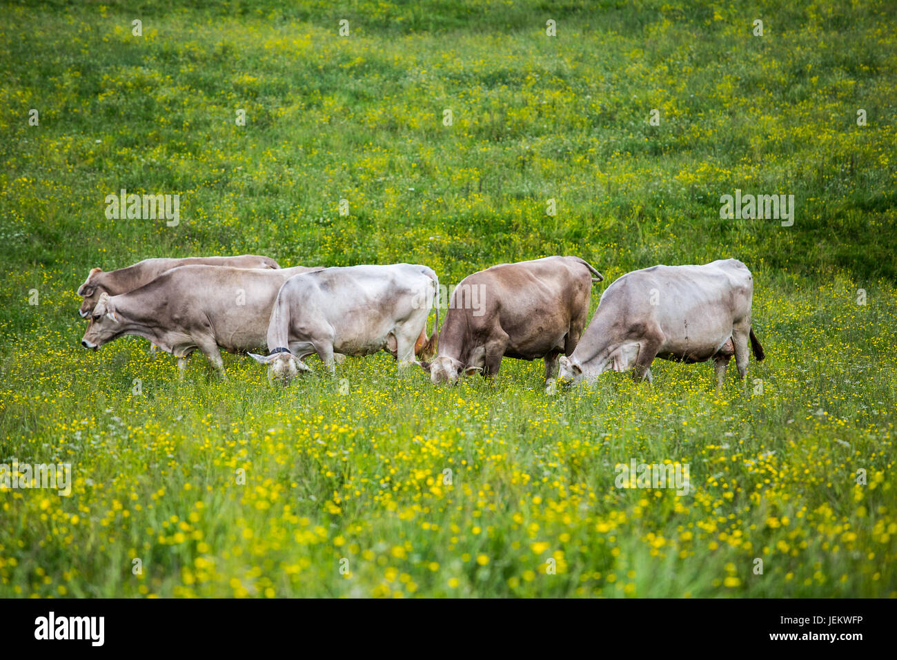 Group of cows (Swiss Braunvieh breed) grazing on a green meadow. - Stock Image