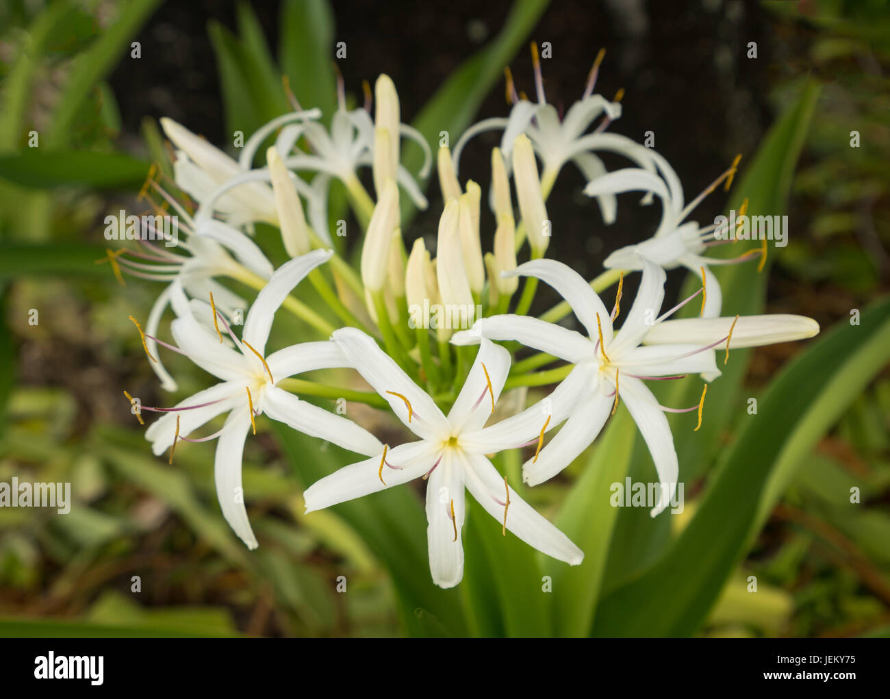 White Spider Lily Flower In Shade Of A Tree Stock Photo 146726585