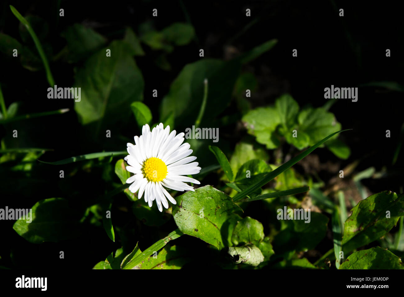 Simple yet elegant daisy flower taken in artificial light at night time. - Stock Image