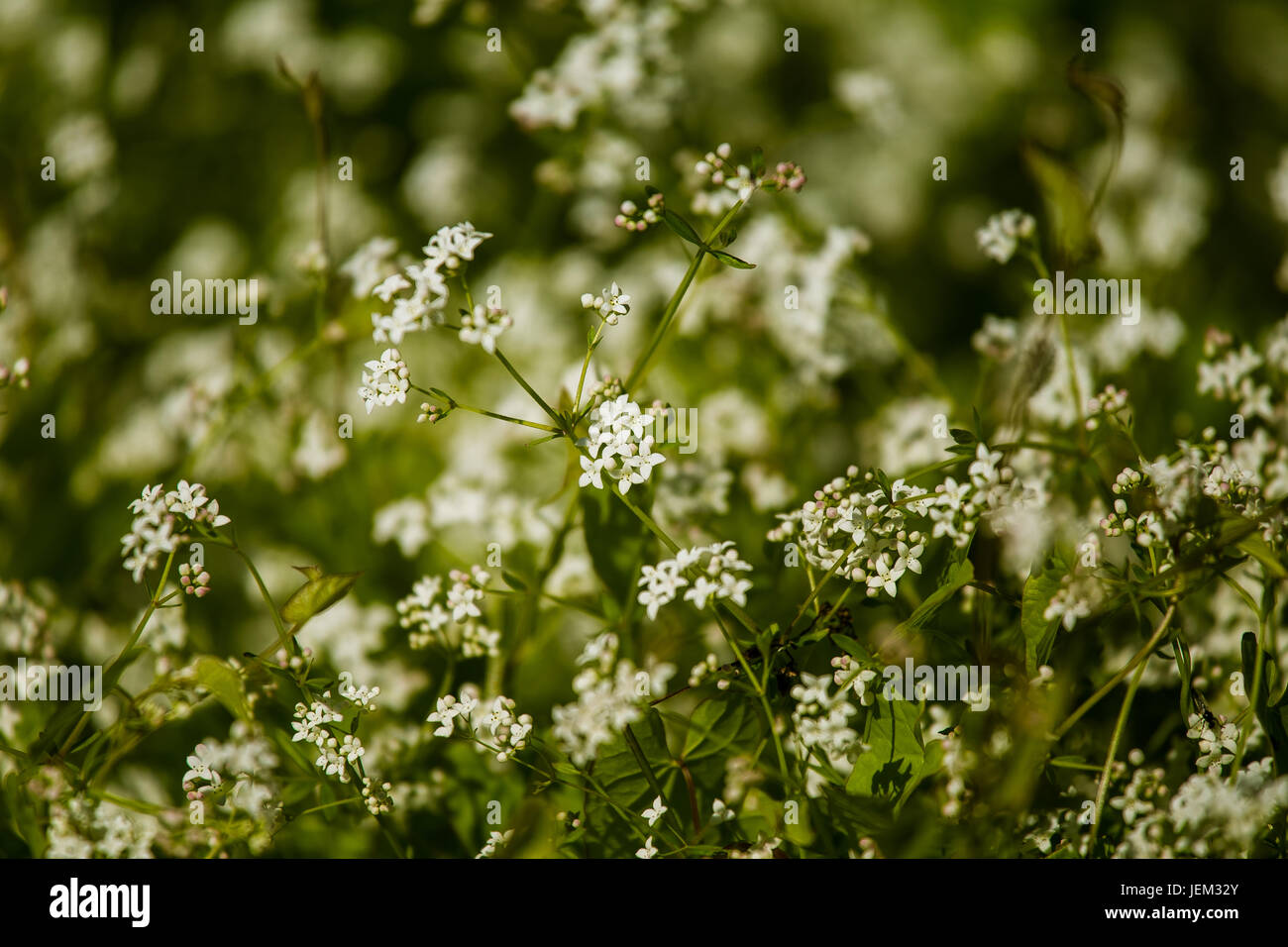 Beautiful White Tiny Flowers In A Natural Habitat In Summer In