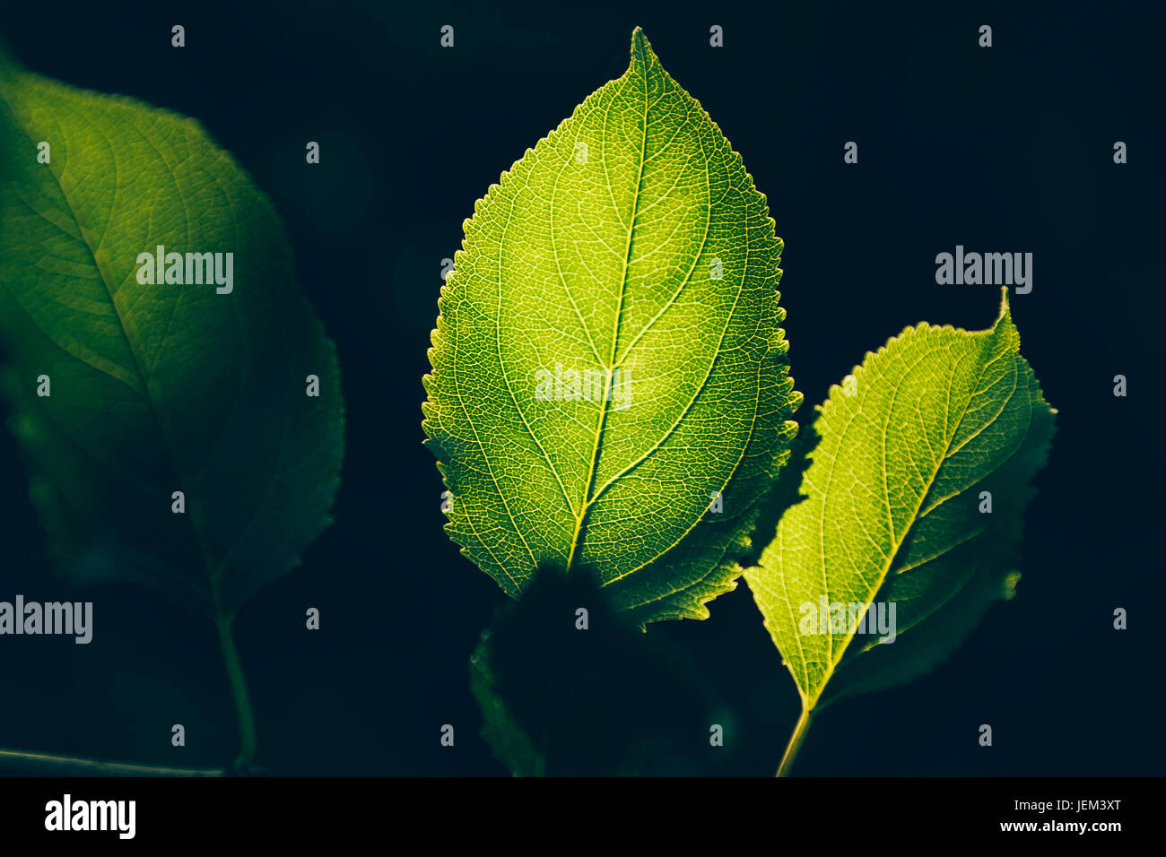 Green spring leaves - Stock Image