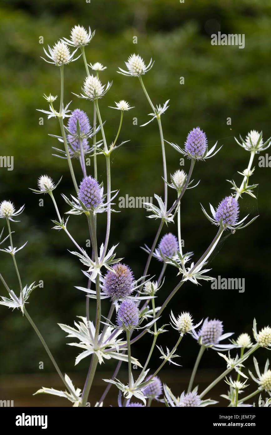 Blue flower heads of the white variegated sea holly, Eryngium 'Jade Frost' - Stock Image