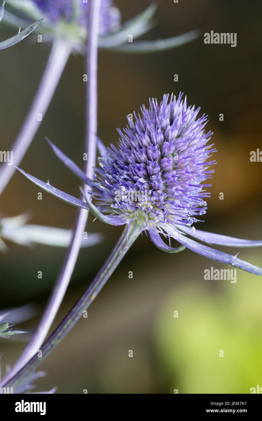 Close up of the blue flower head of the white variegated sea holly, Eryngium 'Jade Frost' - Stock Image