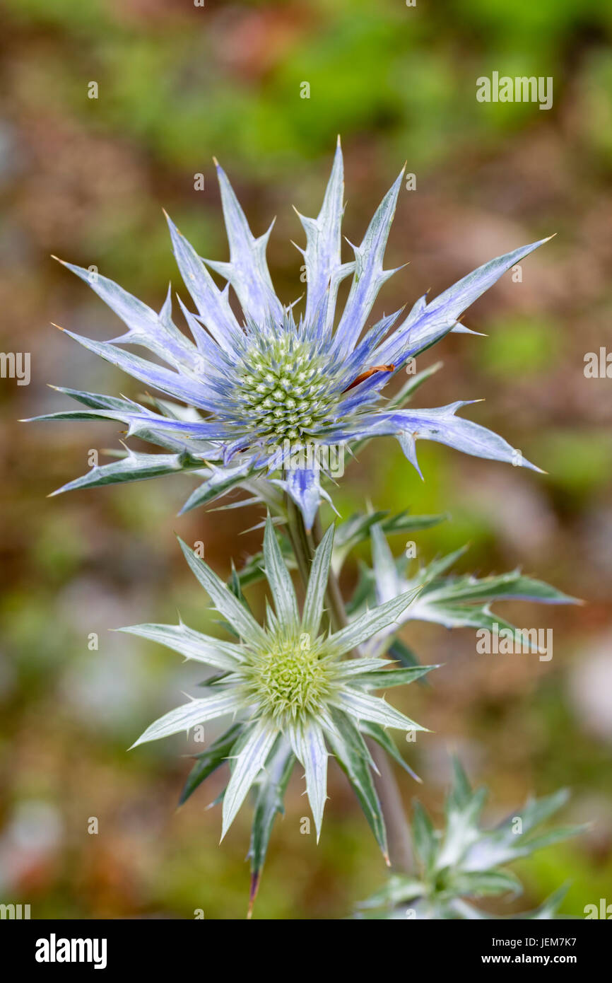 Blue flowers and bracts of the sea holly, Eryngium 'Picos Amethyst' - Stock Image