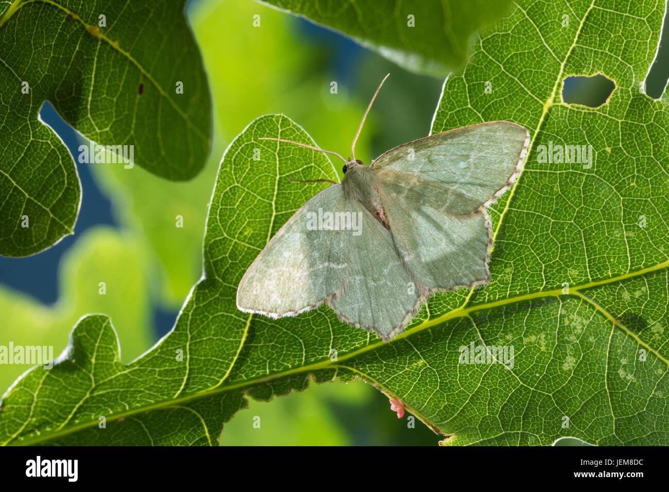 Gebüsch-Grünspanner, Gebüschgrünspanner, Hemithea aestivaria, Hemithea krajniki, common emerald, - Stock Image