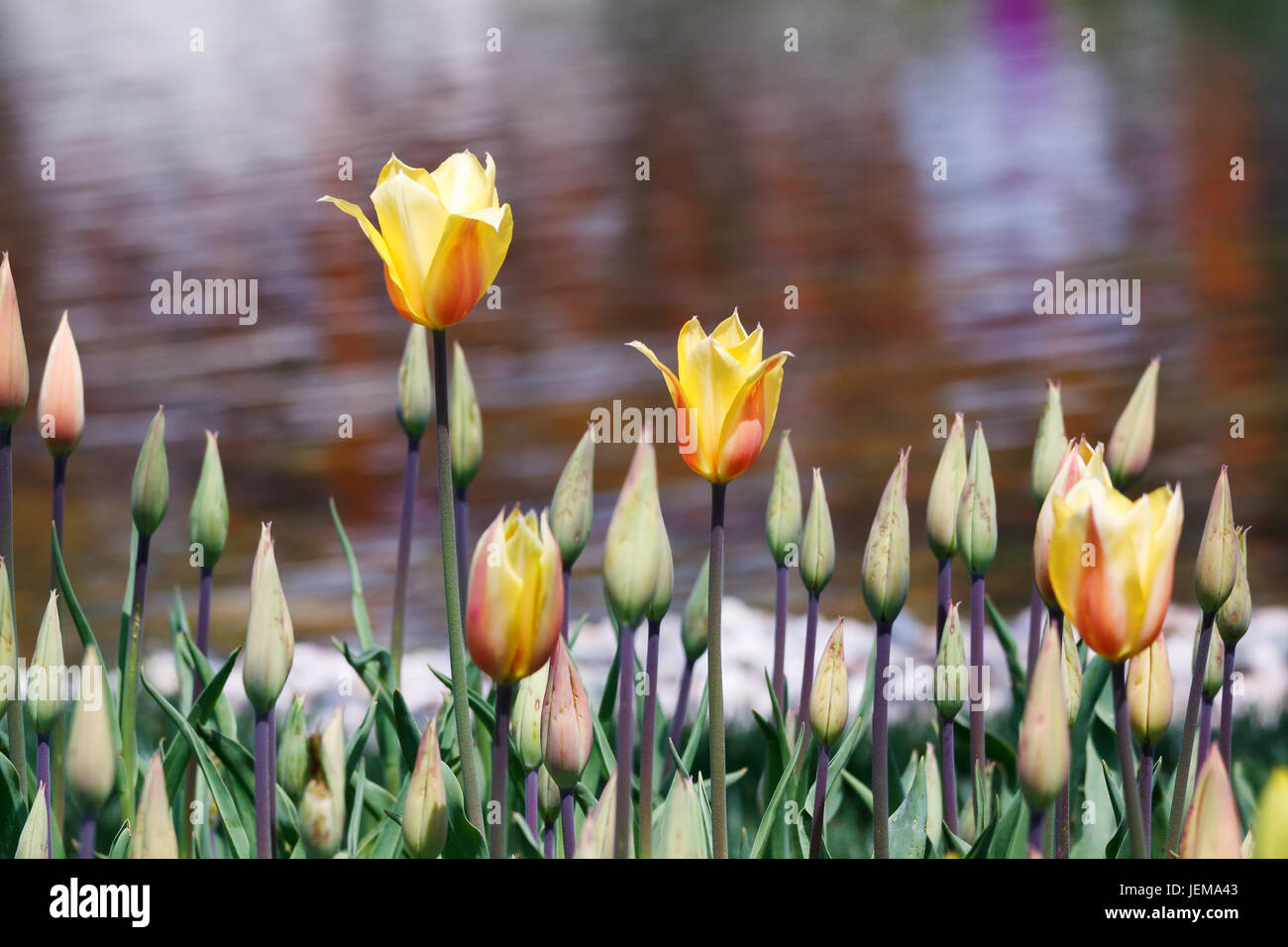 Colorful tulips and muscari flowers creates beautiful paysage in spring time Emirgan,Istanbul - Stock Image