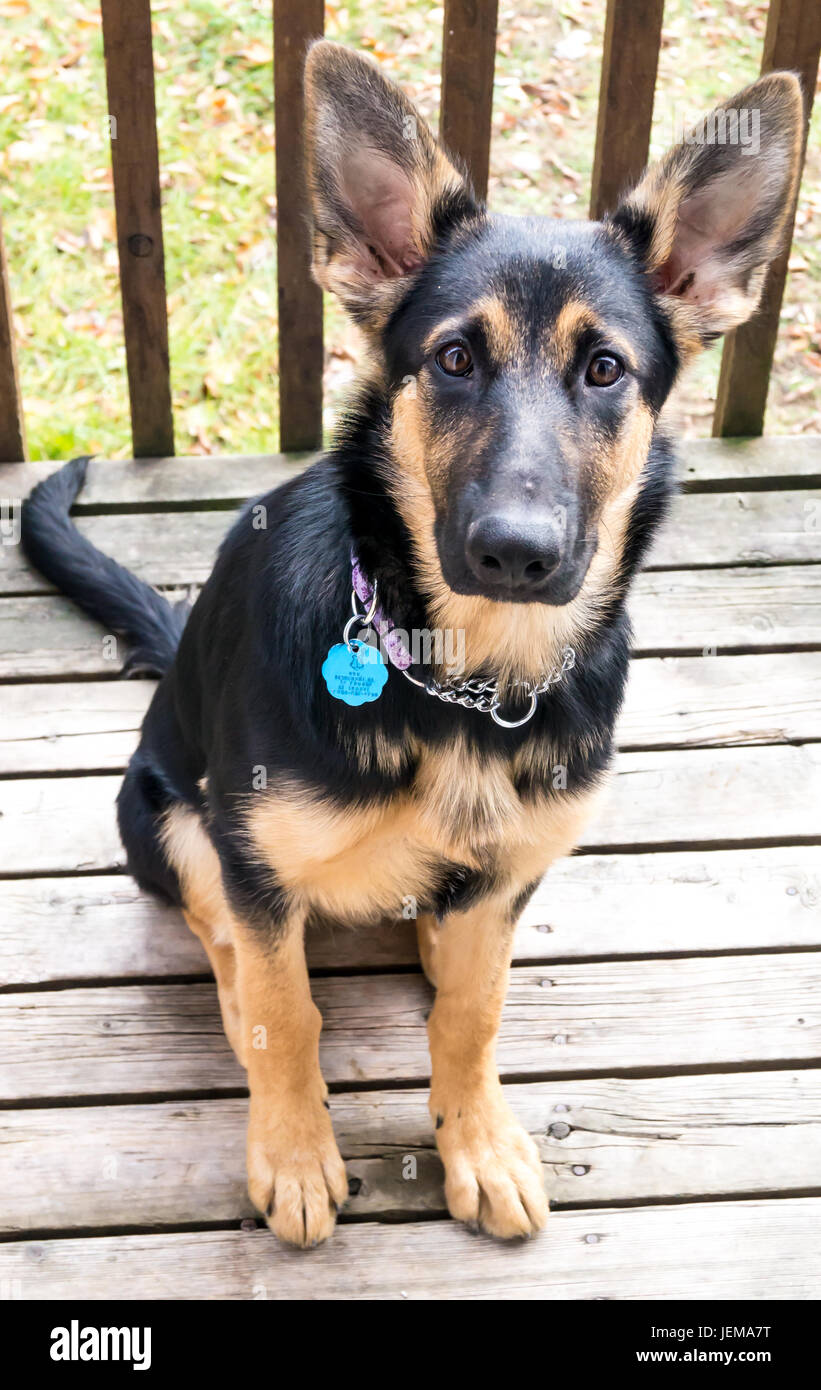 German Shepard and a mix of collie - Stock Image