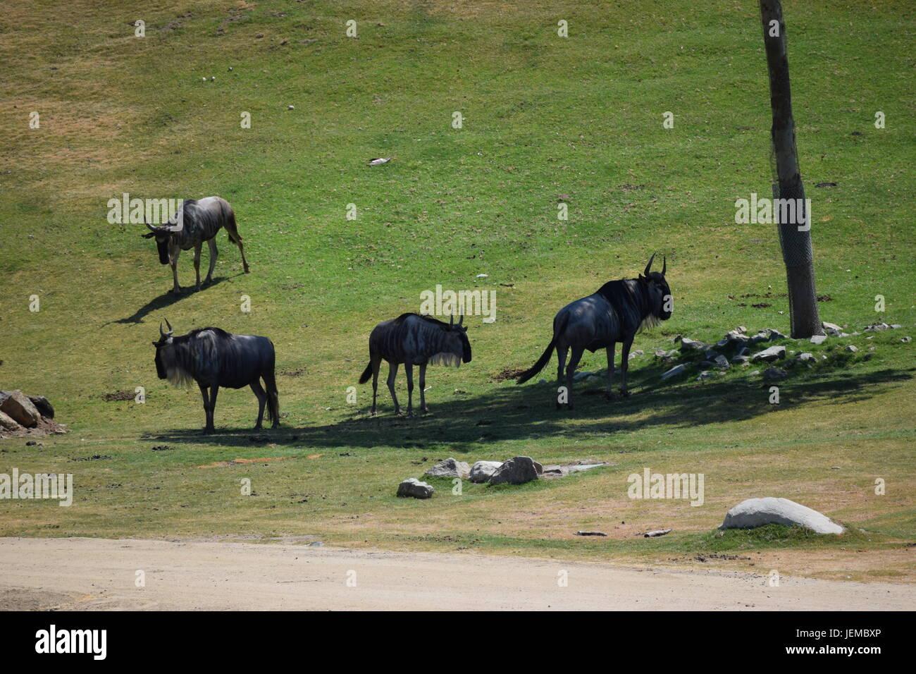 I gazed at the sight of many buffalo at the San Diego Safari Park. - Stock Image