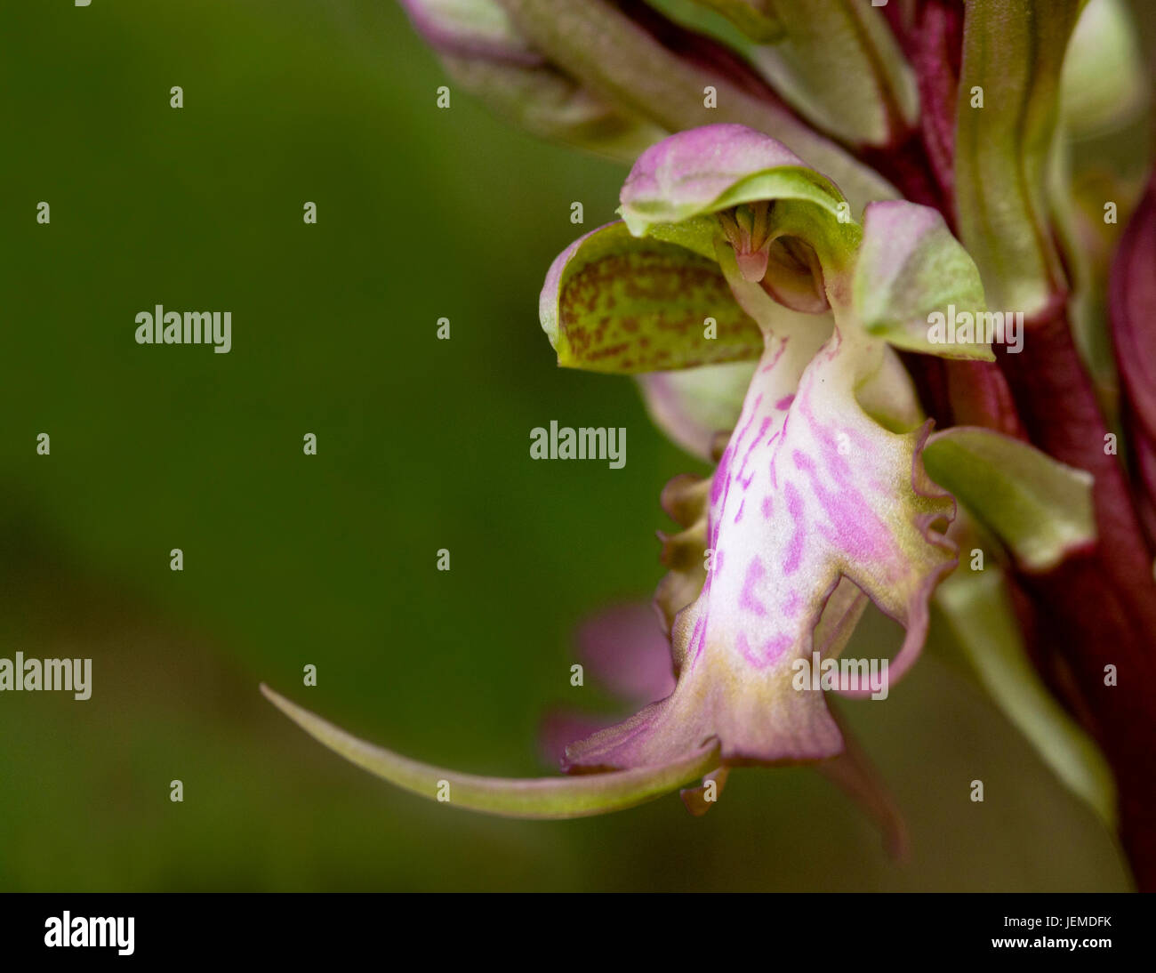 Close-up of Himantoglossum robertianum wild  orchid. It  is a member of the orchid family of wild flowers. It is - Stock Image